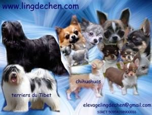 elevage canin ling de Chen